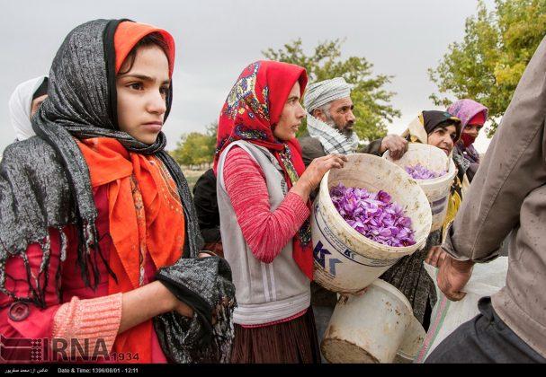 جني محصول الزعفران في خراسان الشمالية 2