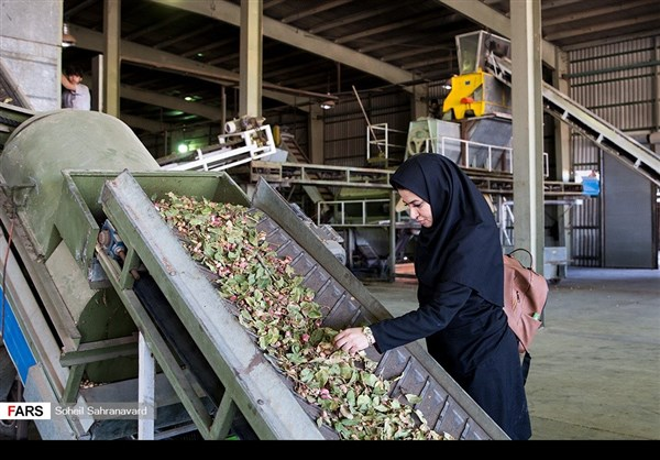 حصاد وتسويق الفستق في قزوين الايرانية 3