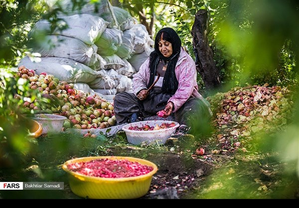 حصاد الرومان في كردستان الايرانية 4