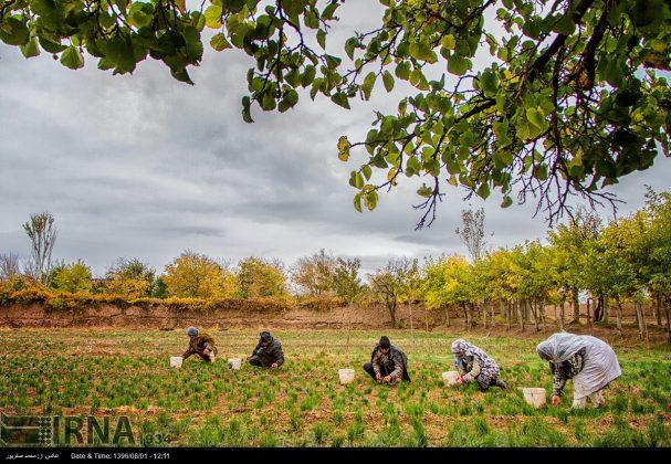 جني محصول الزعفران في خراسان الشمالية 4