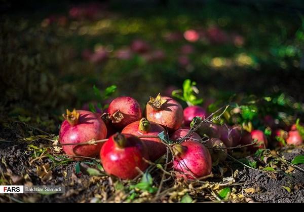حصاد الرومان في كردستان الايرانية 5