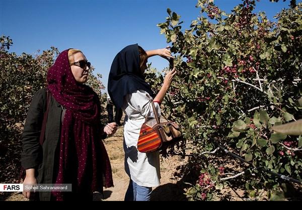حصاد وتسويق الفستق في قزوين الايرانية 5