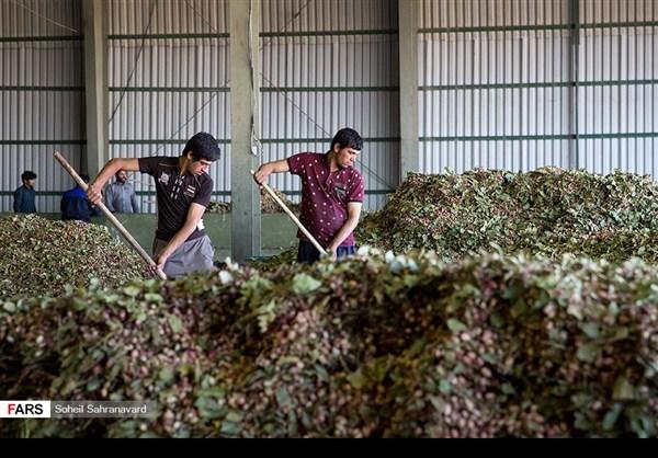 حصاد وتسويق الفستق في قزوين الايرانية 6