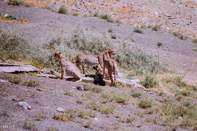 خارتوران شاهرود، مهمترین زیستگاه یوزپلنگ آسیایی7