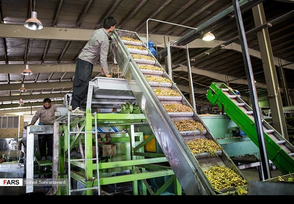 حصاد وتسويق الفستق في قزوين الايرانية 7