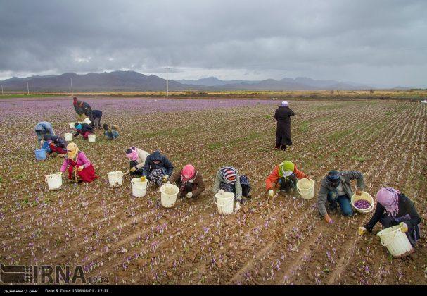 جني محصول الزعفران في خراسان الشمالية 7