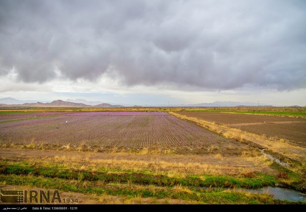 جني محصول الزعفران في خراسان الشمالية 8