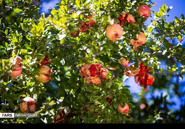 حصاد الرومان في كردستان الايرانية 9