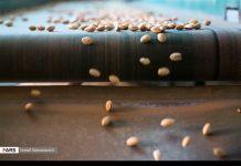 حصاد وتسويق الفستق في قزوين الايرانية 9