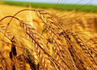 ايطاليا تستورد 29 الف طن من القمح الايراني