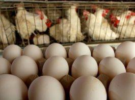 ايران.. إنفولنزا الطيور تتسبب باعدام 12.3 مليون دجاجة