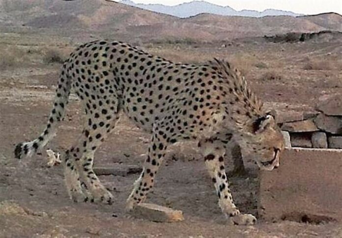 Female Asiatic Cheetah