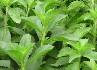 Iran Improves Stevia as Best Alternative to Artificial Sweeteners