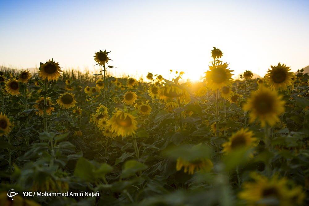 https://ifpnews.com/wp-content/uploads/2018/09/sun-flower-1.jpg