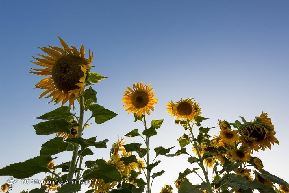 https://ifpnews.com/wp-content/uploads/2018/09/sun-flower-10.jpg