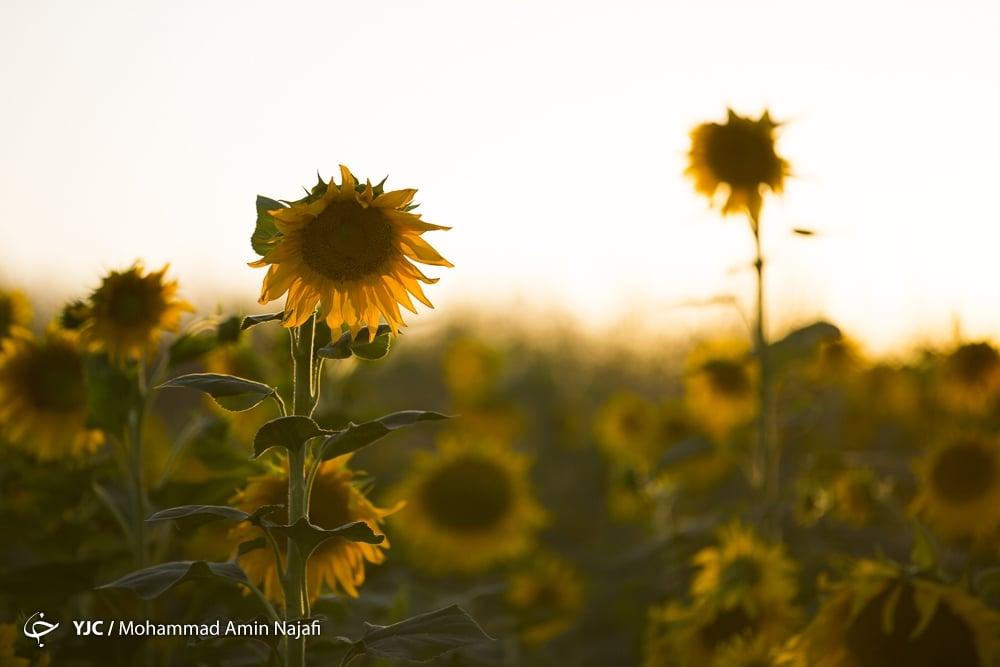 https://ifpnews.com/wp-content/uploads/2018/09/sun-flower-11.jpg
