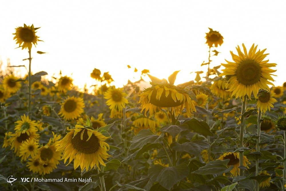 https://ifpnews.com/wp-content/uploads/2018/09/sun-flower-12.jpg