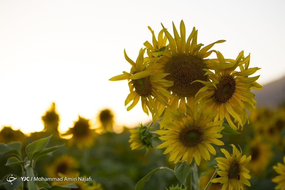 https://ifpnews.com/wp-content/uploads/2018/09/sun-flower-13.jpg