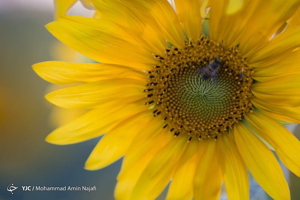 https://ifpnews.com/wp-content/uploads/2018/09/sun-flower-14.jpg