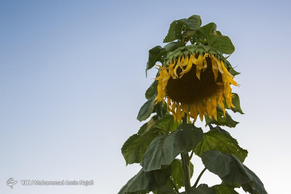 https://ifpnews.com/wp-content/uploads/2018/09/sun-flower-16.jpg