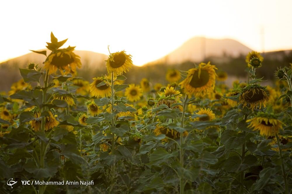 https://ifpnews.com/wp-content/uploads/2018/09/sun-flower-17.jpg