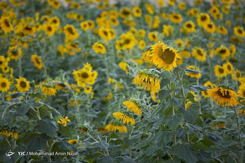https://ifpnews.com/wp-content/uploads/2018/09/sun-flower-22.jpg