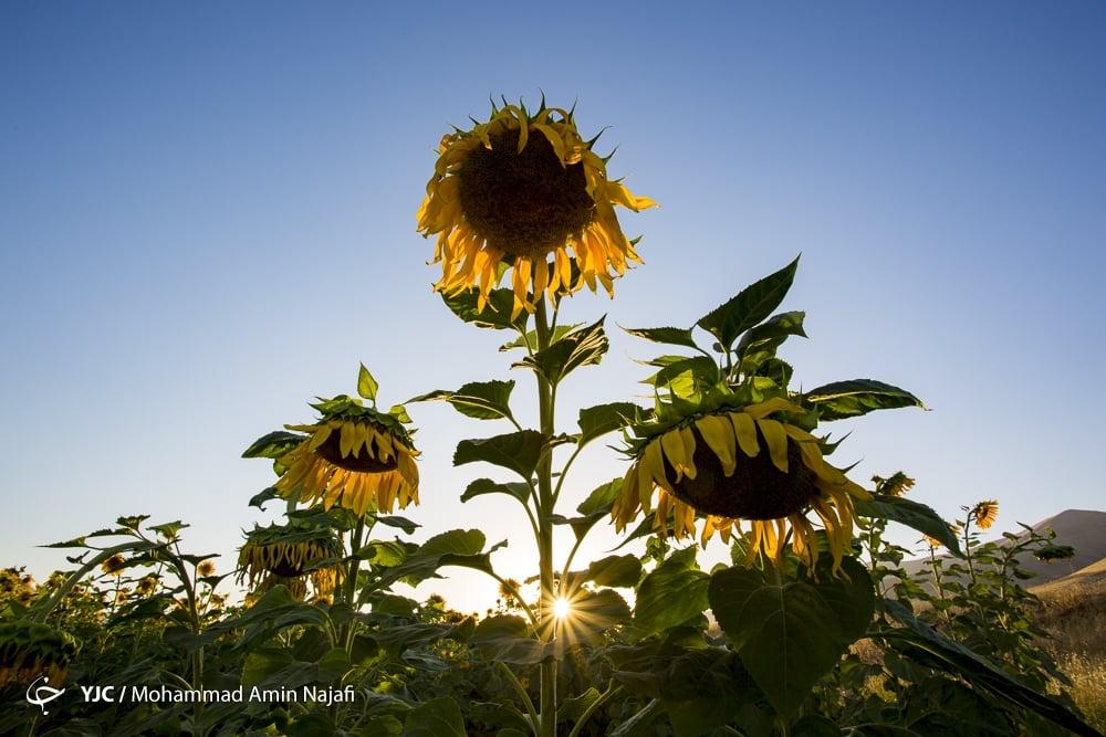 https://ifpnews.com/wp-content/uploads/2018/09/sun-flower-3.jpg