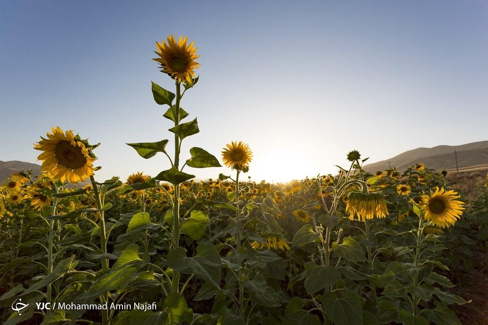 https://ifpnews.com/wp-content/uploads/2018/09/sun-flower-5.jpg