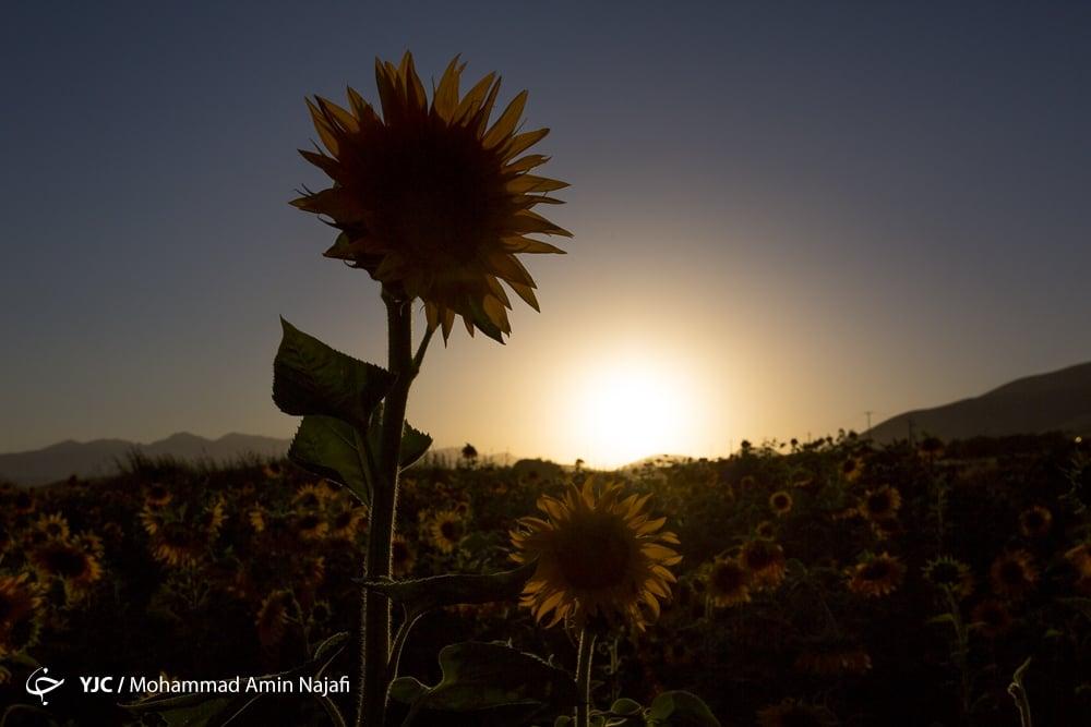 https://ifpnews.com/wp-content/uploads/2018/09/sun-flower-7.jpg