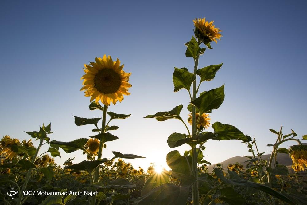 https://ifpnews.com/wp-content/uploads/2018/09/sun-flower-8.jpg
