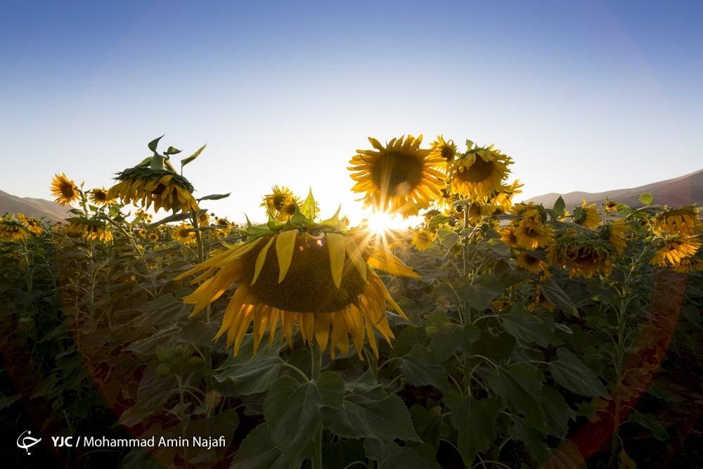 https://ifpnews.com/wp-content/uploads/2018/09/sun-flower-9.jpg