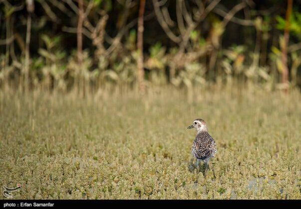 Bird in Sirik Lagoon, Iran
