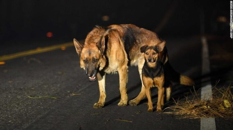 Dogs roam a burned-out neighbourhood in Paradise, California / Photo by Getty Images