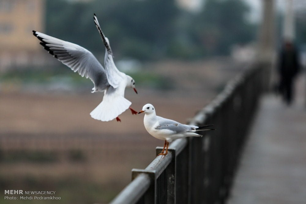 https://ifpnews.com/wp-content/uploads/2018/12/Iran%E2%80%99s-Karoon-River-Hosting-Migratory-Birds-13.jpg