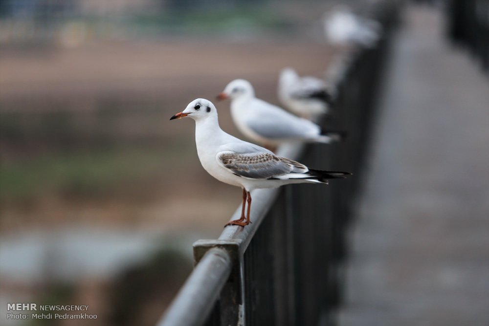 https://ifpnews.com/wp-content/uploads/2018/12/Iran%E2%80%99s-Karoon-River-Hosting-Migratory-Birds-15.jpg