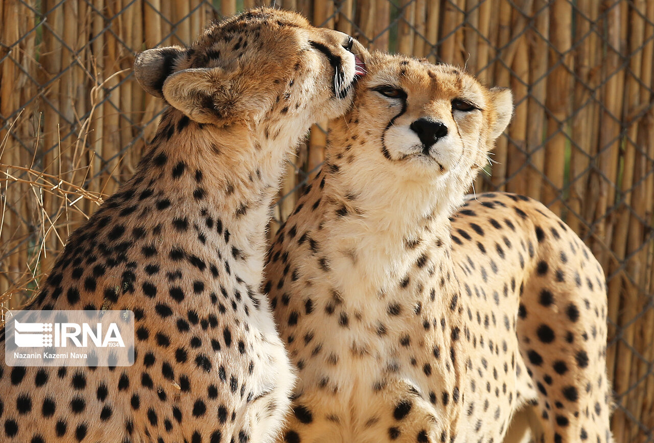 Iran Marks National Day of Asiatic Cheetah