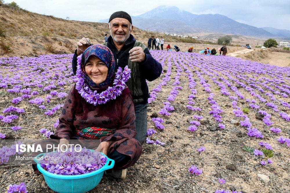 Iranian Farmers Start Harvesting Saffron Iran Front Page