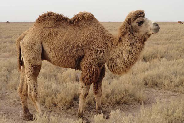 Persian Bactrian camel