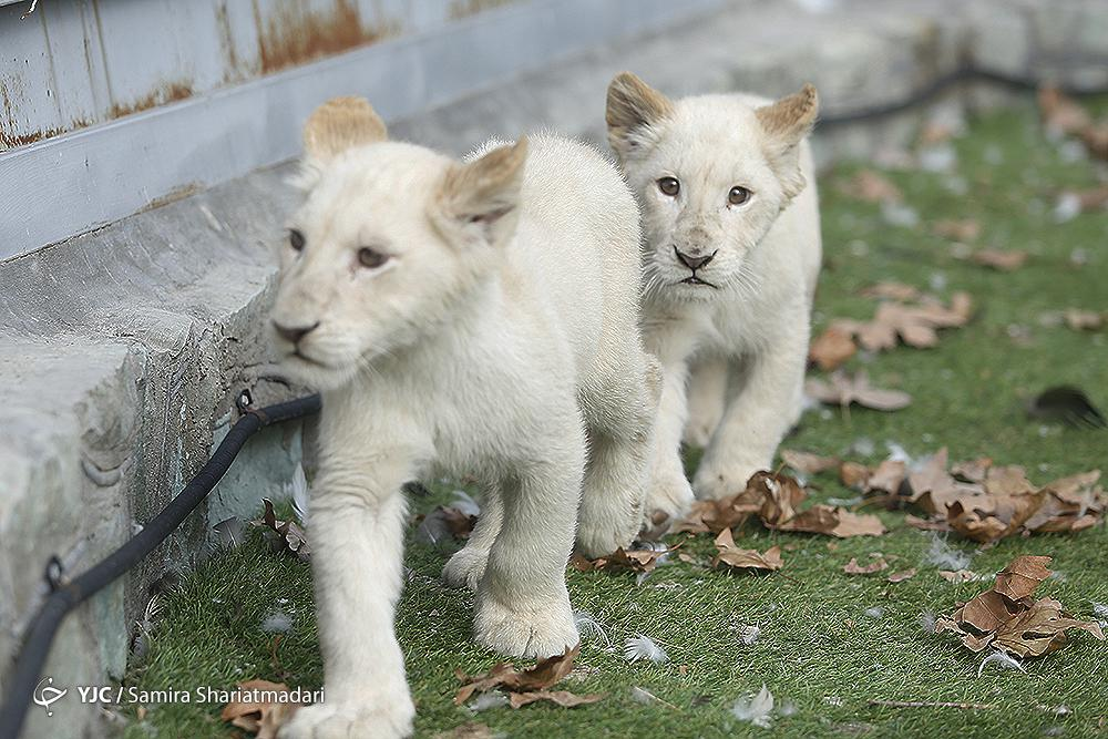 African Lion Cubs Arrive in Iran