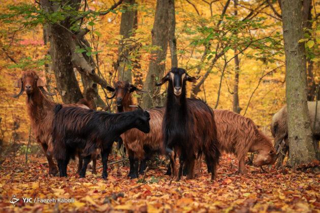 Iran's Beauties in Photos Autumn in Golestan Forest (26)