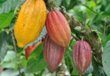 Iranian Biological Fertiliser Saves Cocoa Farms in Africa