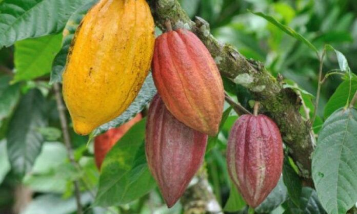 Iranian Biological Fertiliser Saves Cocoa Farms in Africa
