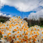 Daffodil harvest in Iran's Mazandaran