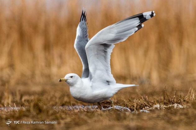 Iran's Wetlands; Habitat of Migratory Birds in Cold Season (3)