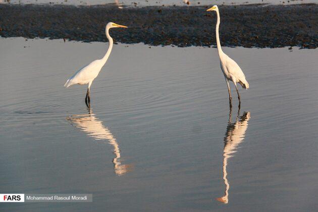 Iran's Wetlands; Habitat of Migratory Birds in Cold Season (47)