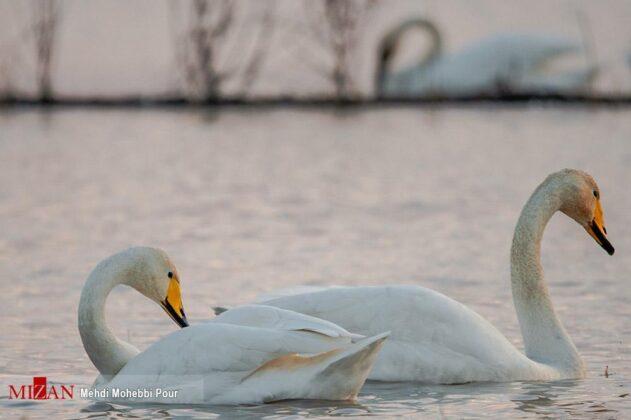 Migratory Swans in Northern Iran