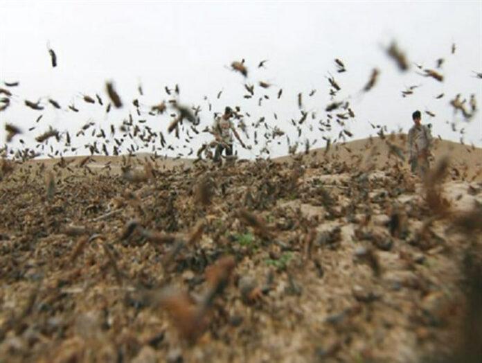 Billions of Locusts Swarm Southern Iran