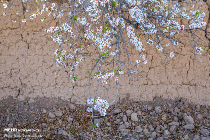 Spring Blossoms in Mehriz