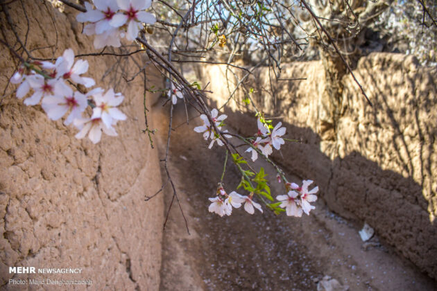 Spring Blossoms in Mehriz 13