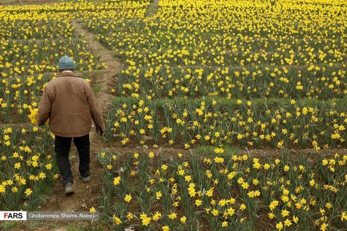 Masal Village; Centre of Daffodil Cultivation in Iran